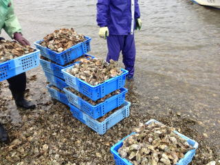 "The ""Amanohashidate Canal Oyster Shell Cleanup Project!"" was held."